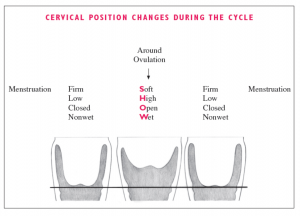 Your cervix changes position over the course of your cycle. Source: https://forums.thebump.com/discussion/12683205/ttgp-guide-cervical-position-cp-tmi